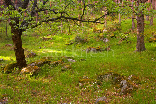 Across the forest Stock photo © broker
