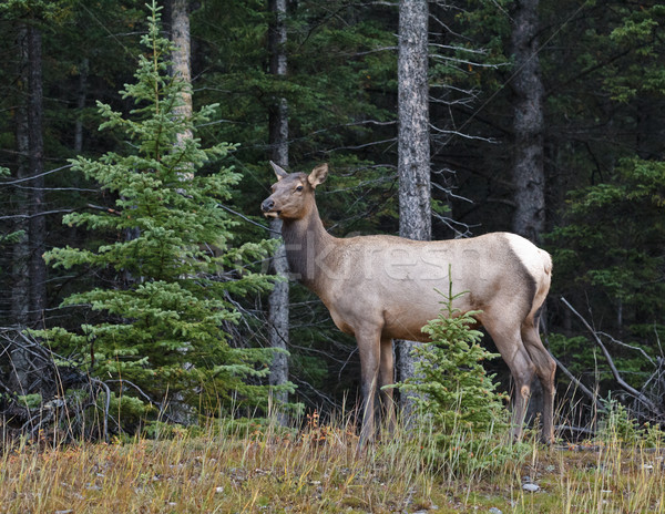 Elk female Stock photo © broker