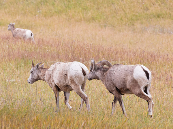 Three bighorn sheeps, ovis canadensis Stock photo © broker