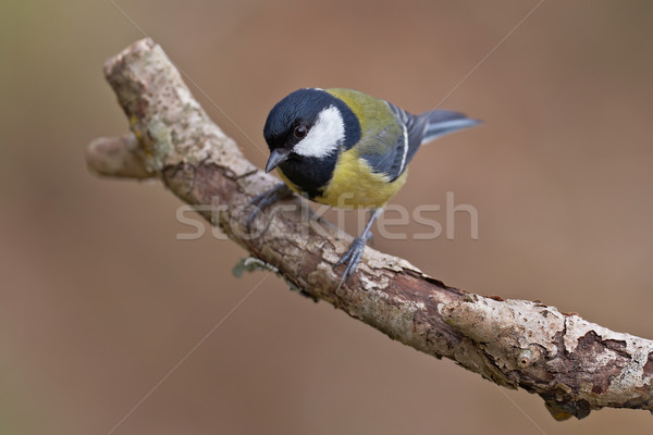 Great Tit, Parus major Stock photo © broker