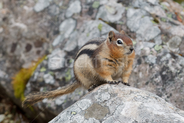 Golden-mantled ground squirrel, spermophilus lateralis Stock photo © broker