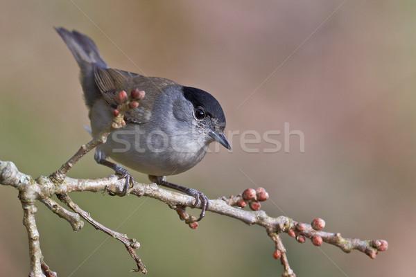Blackcap, Sylvia atricapilla Stock photo © broker