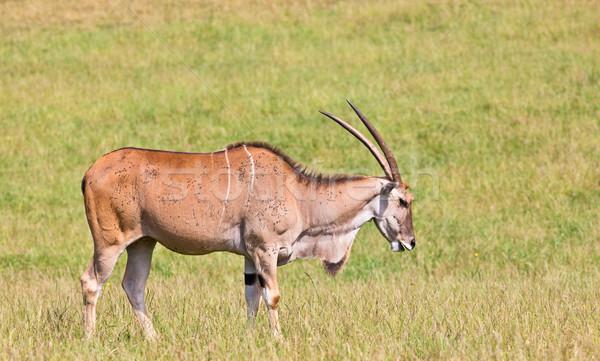 Eland - Taurotragus Stock photo © broker