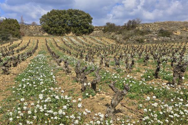Fields of vineyards Stock photo © broker