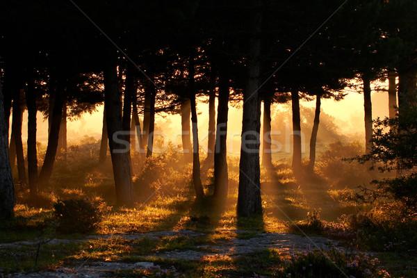 Risveglio giorno estate foresta luce alberi Foto d'archivio © broker