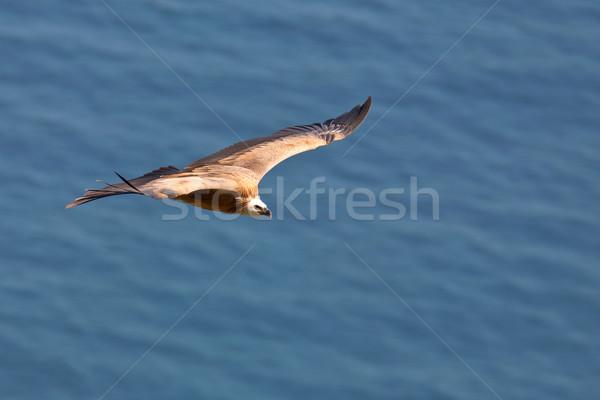 гриф полет морем птица Перу власти Сток-фото © broker