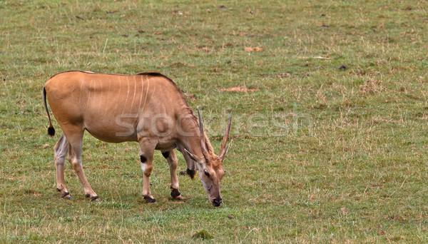 Eland, taurotragus oryx Stock photo © broker
