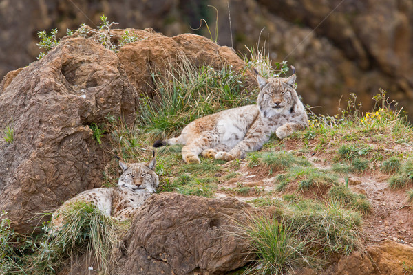 Two eurasian lynxes Stock photo © broker