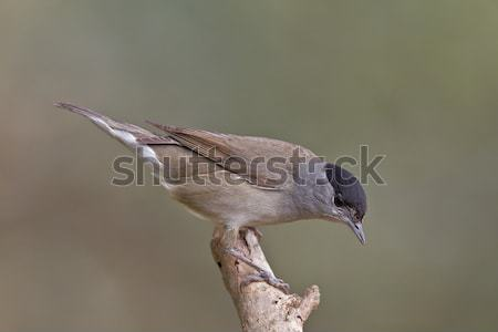 Stock photo: Blackcap, Sylvia atricapilla