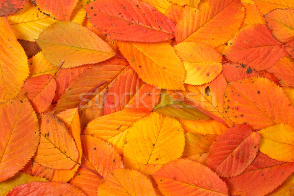 Colorful autumn background Stock photo © broker