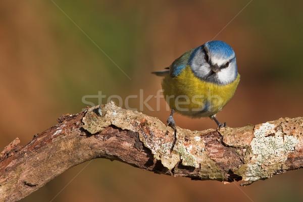 Stock photo: Blue tit, Parus caeruleus