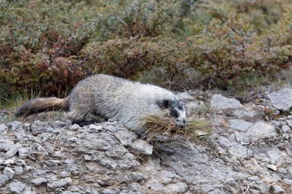 Hoary marmot, marmota caligata Stock photo © broker