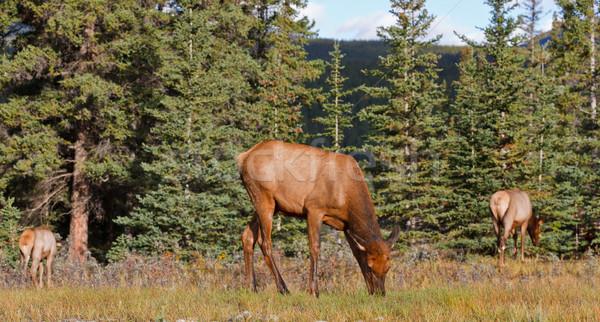 Elks female grazing Stock photo © broker