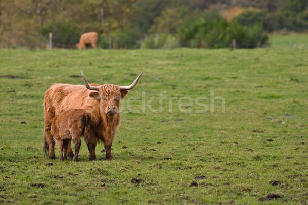 Ganado femenino animales toro Escocia Foto stock © broker