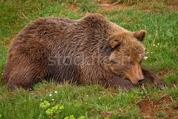 Bruine beer een gras tanden dier Stockfoto © broker