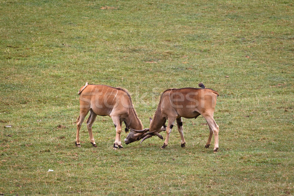 Two eland fighting Stock photo © broker