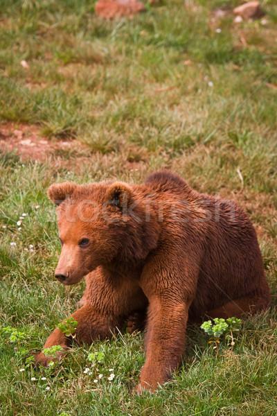 One brown bear Stock photo © broker