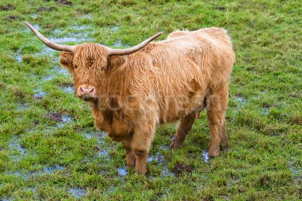 Vee portret vrouwelijke dier stier Schotland Stockfoto © broker