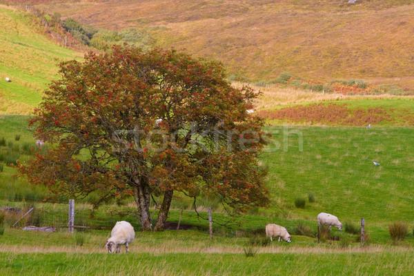 Sheep grazing Stock photo © broker