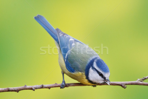 Blue tit, Parus caeruleus Stock photo © broker