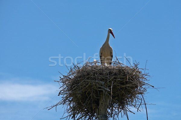 Stork family Stock photo © broker