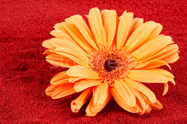 Daisy on the red sand Stock photo © broker