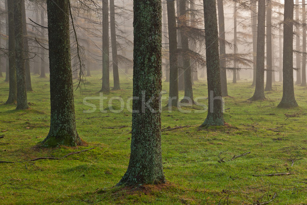 European larch forest Stock photo © broker