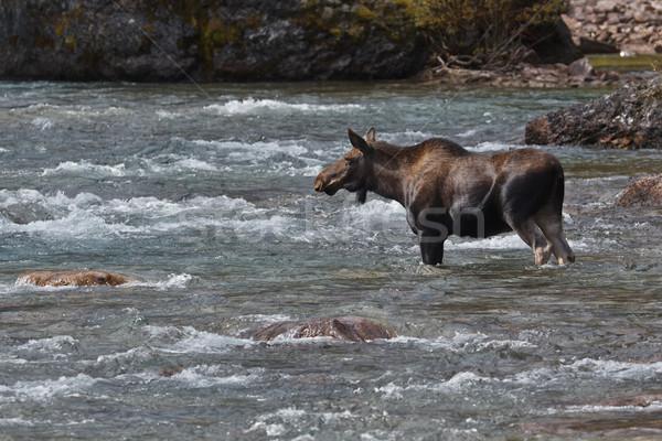 Vrouwelijke eland geneeskunde rivier park landschap Stockfoto © broker