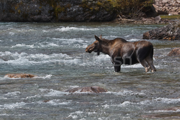 Female moose, alces alces, in Medicine River Stock photo © broker
