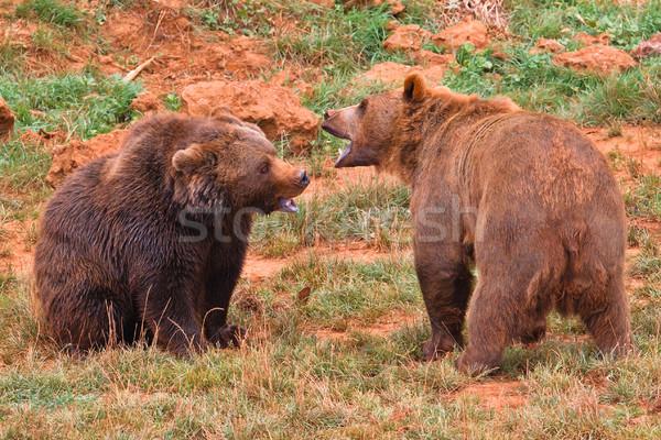 Brown bears fighting Stock photo © broker
