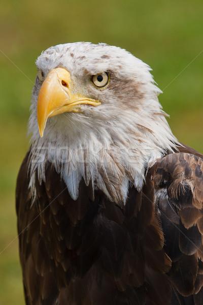 American bald eagle Stock photo © broker