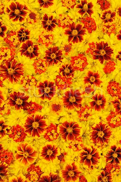 Bloem textuur zomer oranje groep daisy Stockfoto © brozova