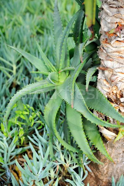 Aloe guérison usine détail nature feuille Photo stock © brozova