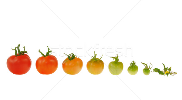 Evolution of red tomato isolated on white background Stock photo © brozova
