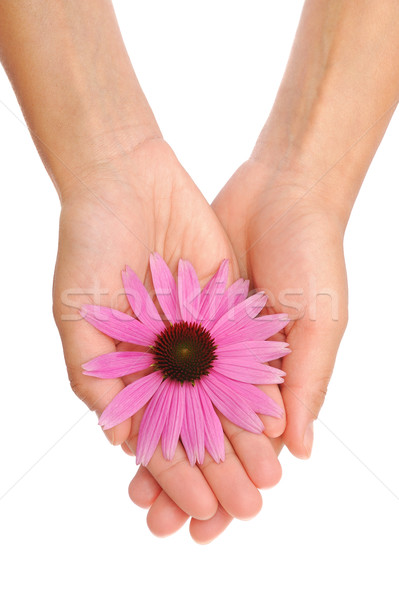 Hand of young woman holding Echinacea flower Stock photo © brozova