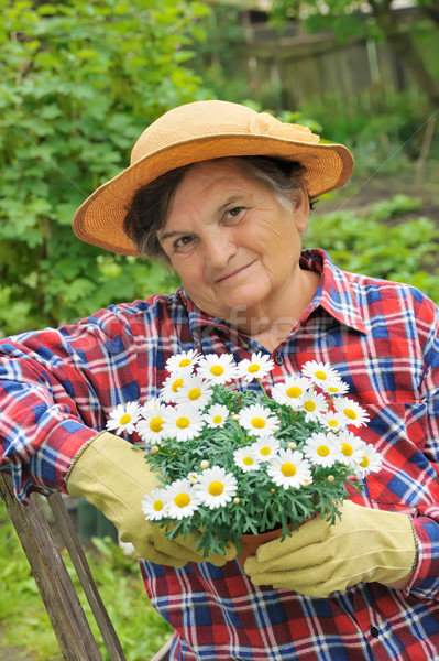 Senior woman gardening - potting Daisy Stock photo © brozova