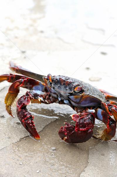 Close up of live crab Stock photo © brozova