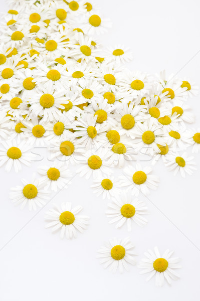 Group of Chamomile flower heads isolated on white background Stock photo © brozova