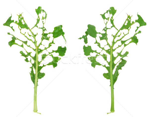 Naaktslak schade groene blad natuur achtergrond Stockfoto © brozova