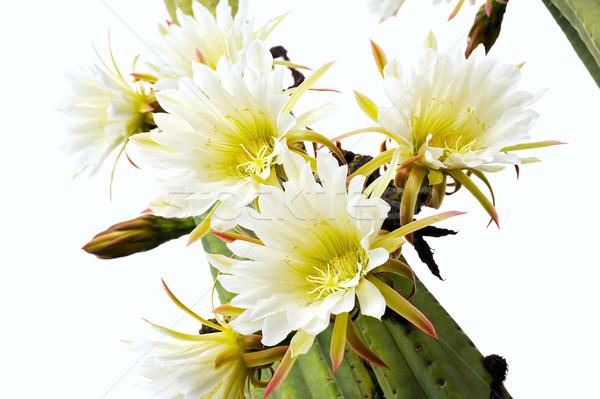 ストックフォト: サボテン · 花 · 自然 · 庭園 · 葉