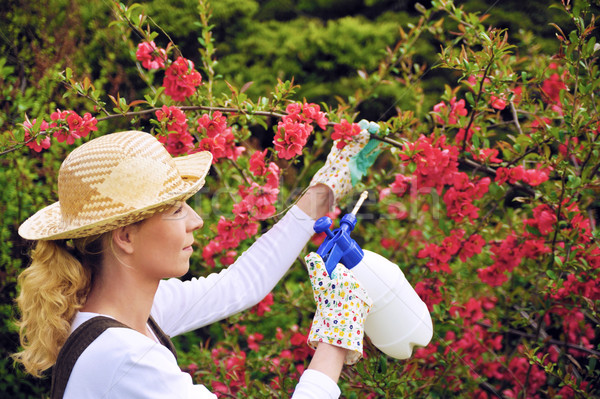 Young woman spraying tree in garden, the gardener takes care of the quince tree in orchard, holding  Stock photo © brozova