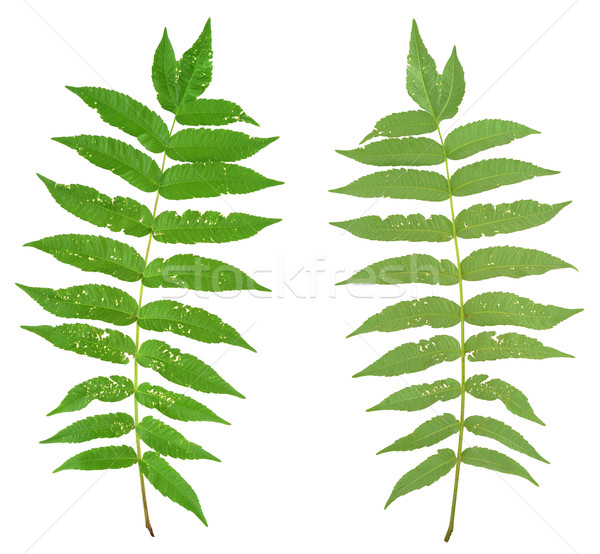 Leaf of sumac tree attacked by Flea beetles, Alticiny Stock photo © brozova