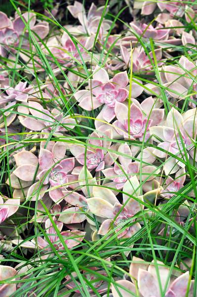 Közelkép nedvdús tyúk virágok fű Stock fotó © brozova