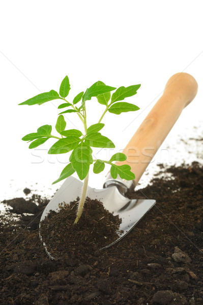 Tomato seedling on garden trowel, isolated on white Stock photo © brozova