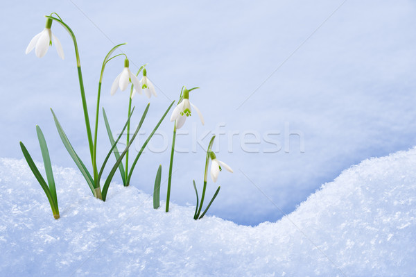 Group of snowdrop flowers  growing in snow Stock photo © brozova
