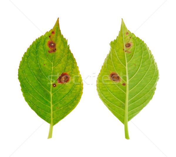 Diseased leaf of  Hydrangea serrata Blue Bird  Stock photo © brozova