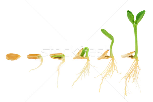 Sequence of pumpkin plant growing isolated, evolution concept Stock photo © brozova
