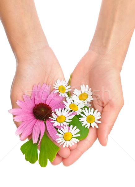 Zdjęcia stock: Ręce · młoda · kobieta · zioła · rumianek · kobieta