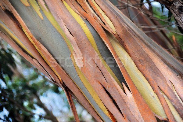 Eucalyptus, Gum Tree, Madeira, Portugal Stock photo © brozova