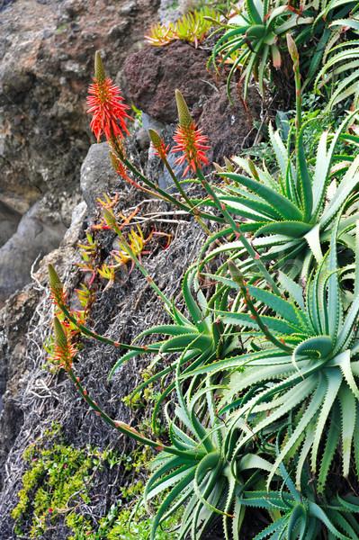 Aloe floraison guérison usine détail fleur Photo stock © brozova